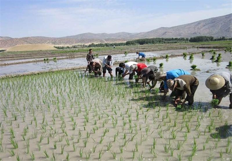 کشت فرا سرزمینی برنج در ویتنام