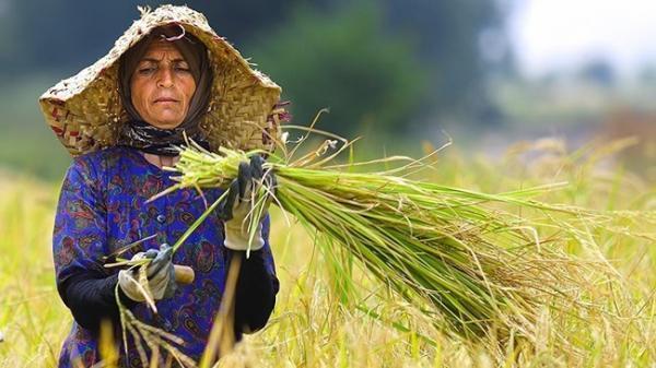 کشت برنج با کیفیت کم شده است